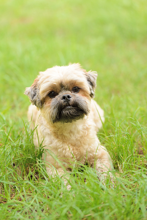 Cute little Bichon Frise in the green grass Stock Photo