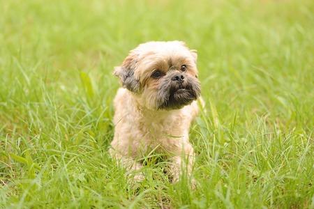 bichon bolognese: Cute little Bichon Frise in the green grass Stock Photo