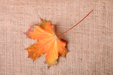 sackcloth: Autumnal maple leaf on sackcloth background