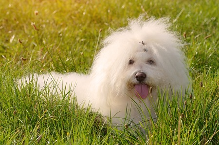 Bichon bolognese dog lying in the green grass