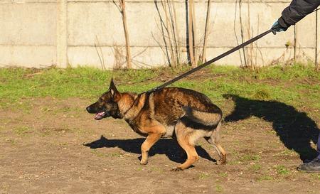 german shepherd dog: German shepherd dog in training