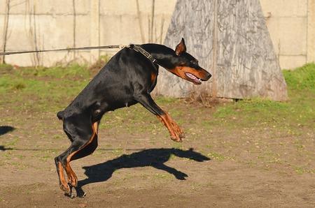 pinscher: Doberman Pinscher dog in training