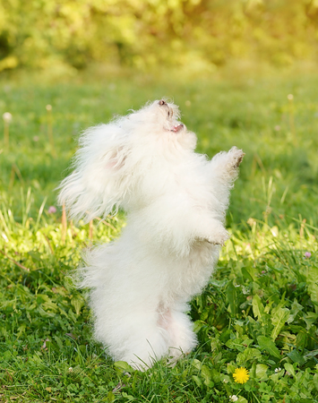 bichon bolognese: Happy Bichon bolognese dancing in the green