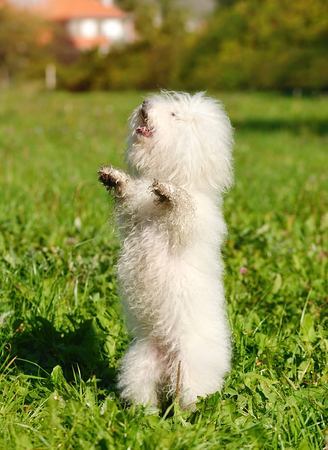 Bichon bolognese dog in the green grass