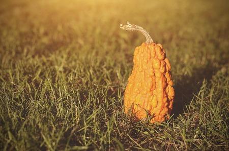 harvest field: Vintage photo of a ripe pumpkin in field