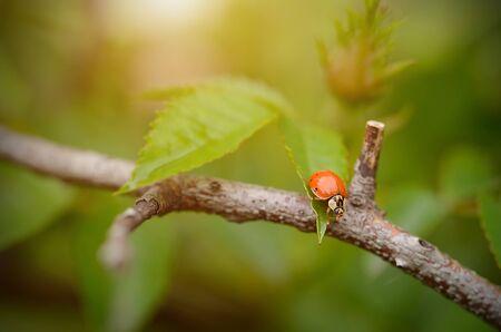 ladybug on leaf: Closeup photo of a ladybug on leaf