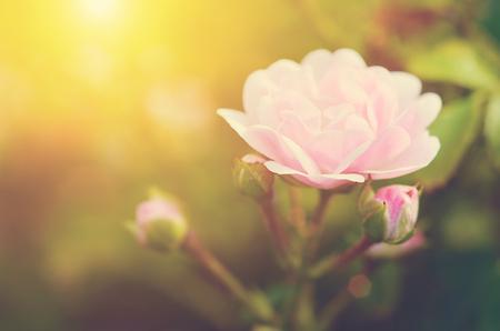 Zachte foto van een mooie roos, detail