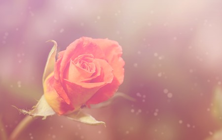 Dreamy photo of a rose in the garden