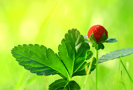 'wild strawberry: Closeup photo of wild strawberry in forest