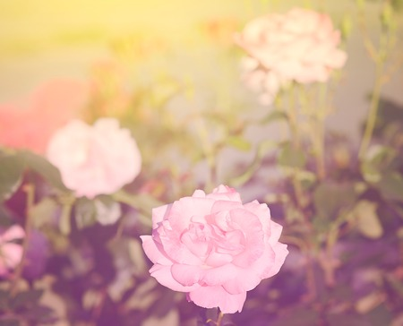 Dreamy photo of a bouquet rose