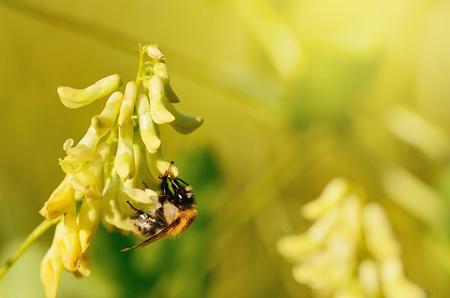 recoger: Bumble abeja recoge el polen de las flores silvestres