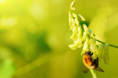 juntar: Bumble abeja recoge el polen de las flores silvestres