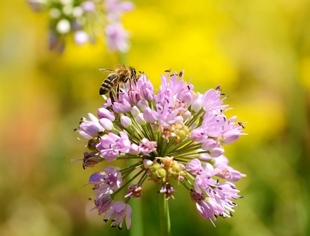 juntar: Abeja recoge el polen de la flor de la cebolla un d�a soleado