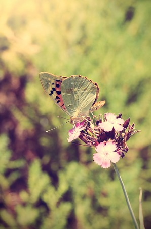 vintage photo: Vintage photo of a butterfly on wildflower