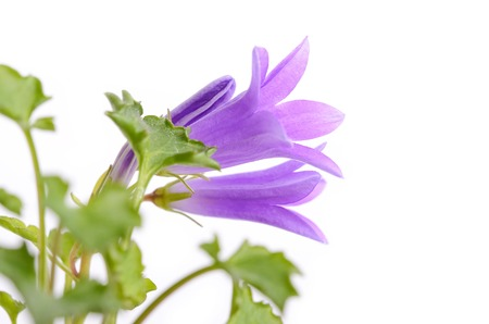 frail: Closeup photo of  Campanula flovet isolated on white background