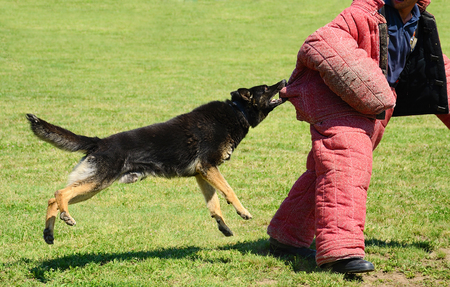 k9: K9 dog in action on training, attack demonstration Stock Photo