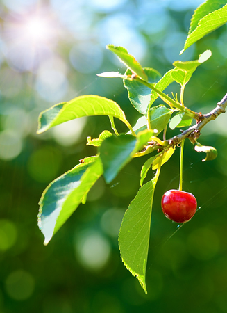 sour cherry: Ripe sour cherry on the branch, detail Stock Photo
