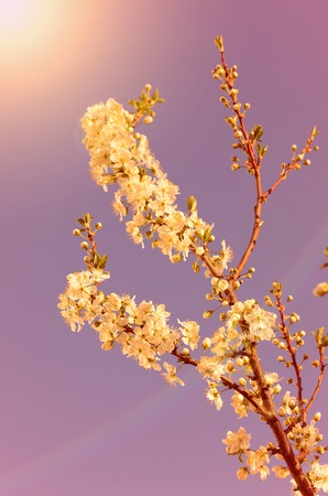 dreamy: Dreamy photo of cherry flower in spring