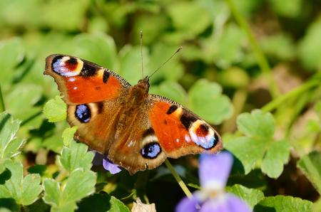 peacock butterfly: Peacock butterfly on a wildflower in the green field