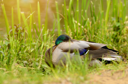 rest day: Duck rest near the lake at sunny day