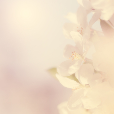 flowers field: Dreamy photo of cherry tree flower, detail