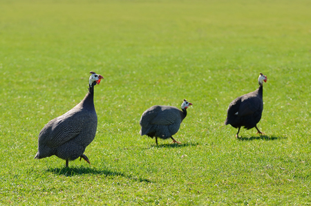 Wild guinea fowl on the green grass Фото со стока