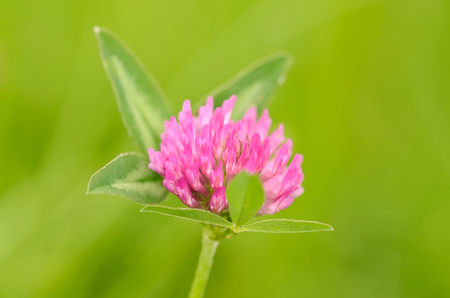 red clover: Closeup photo of a red clover