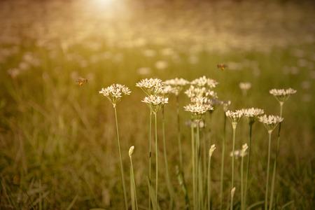 タマネギ花が咲き夕暮れ時の庭 写真素材