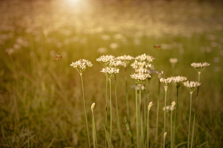 flowers field: Onion flowers bloom in the garden at sunset Stock Photo