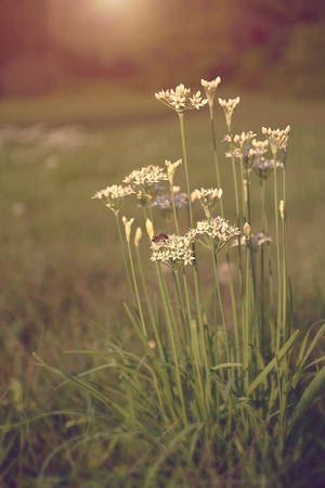 champ de fleurs: Onion flowers bloom in the garden at sunset Banque d'images