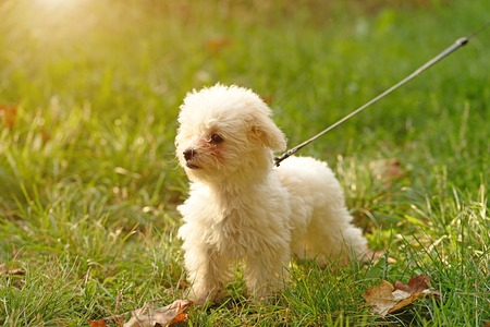 Bichon frise in the park