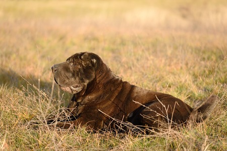 sharpei: Old shar pei dog resting in field a sunny day Stock Photo