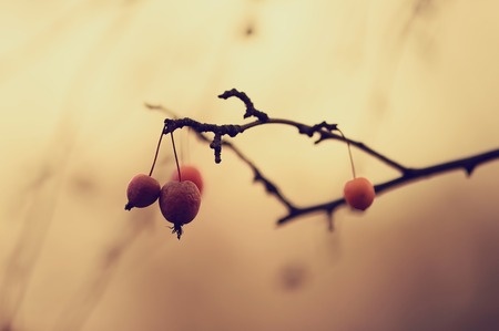 wizened: Red berries on branch. Wizened skin