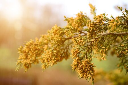 thuja occidentalis: Close up photo of thuja (thuja occidentalis) twig on sunset Stock Photo