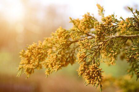 thuja occidentalis: Close up photo of thuja (thuja occidentalis) twig on sunset Stock Photo