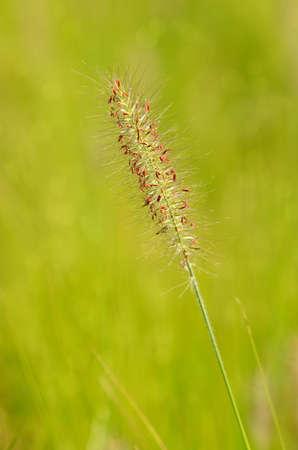 wind blown: Grass flower blown by the wind Stock Photo