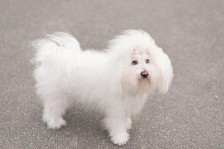 bichon bolognese: Portrait of a Bichon Havanese dog in park