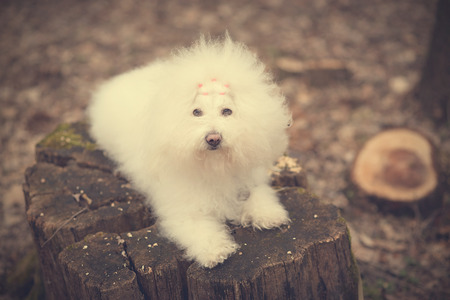 havanese: Vintage photo of a Bichon Havanese in park