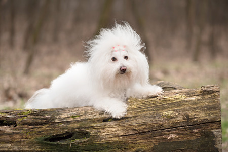 havanese: Portrait of a Bichon Havanese dog in park
