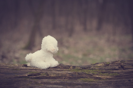 bichon bolognese: Vintage photo of a toy dog in park