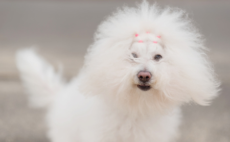 Portrait of a Bichon Havanese dog in park