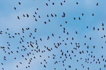 Gray flock of crows in flight on a blue background