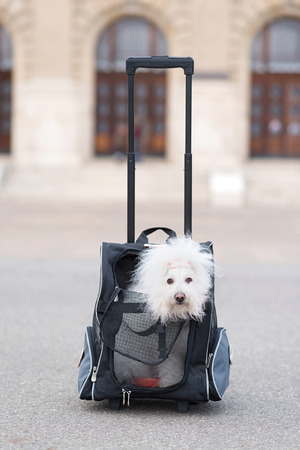 bichon bolognese: Bichon Havanese dog in his transporter bag
