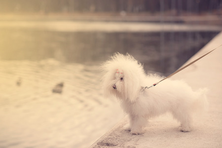 bichon bolognese: Funny dog in the park a sunny day