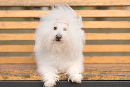 bichon bolognese: Bichon havanese dog on banch in the park Stock Photo