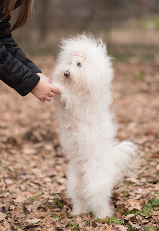 autumn dog: Bichon bolognese play with owner in the park