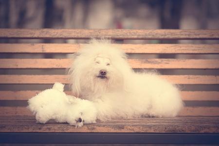 Vintage photo of a Bichon Havanese dog on banch