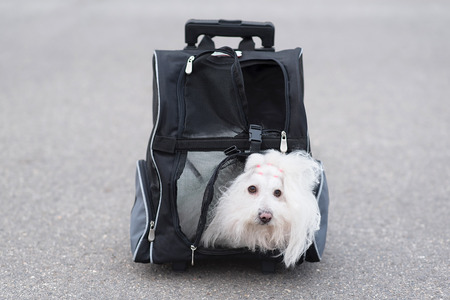 havanese: Bichon Havanese dog in his transporter bag