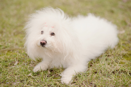 Bichon bolognese dog in the park