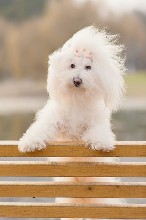 havanese: Bichon havanese dog on banch in the park Stock Photo